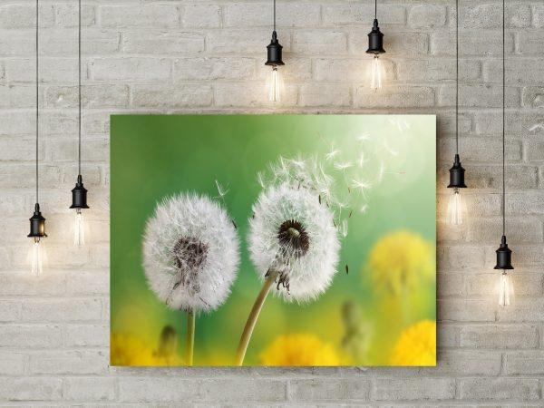 Dandelion Flowers 1