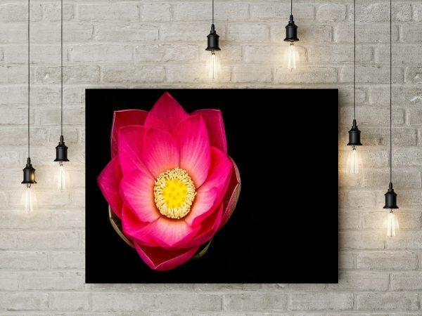 Pink Lotus Flower 1