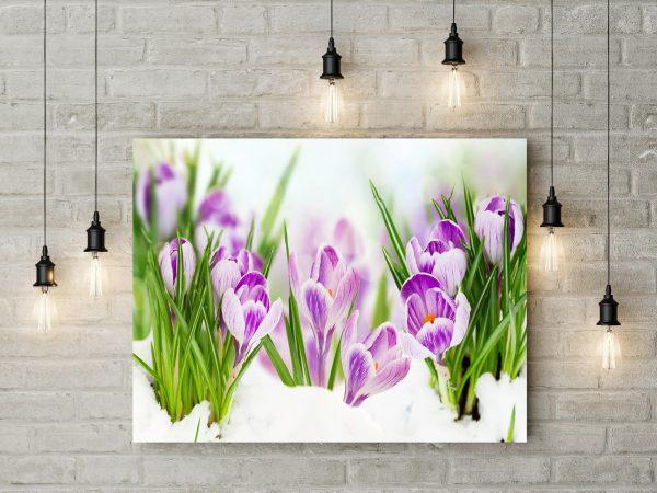 Purple Crocuses 1
