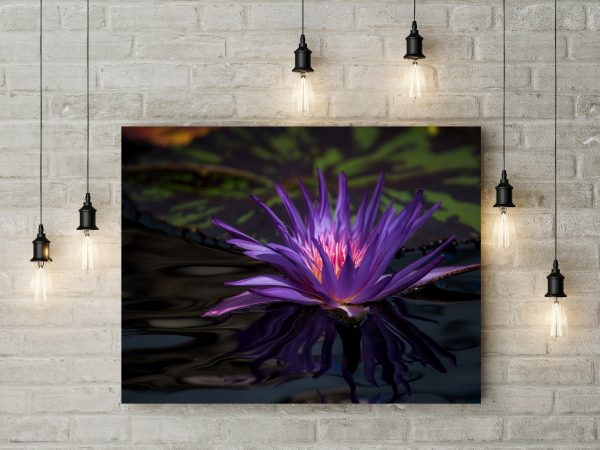 Purple Lily In Pond 1