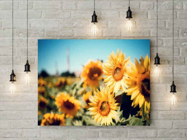 Sunflowers In Farm 1