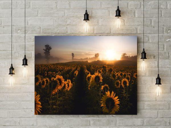 Sunflowers In Morning Fog 1